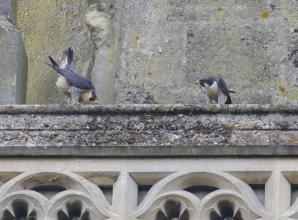 Marlow's 'celebrity' falcons named